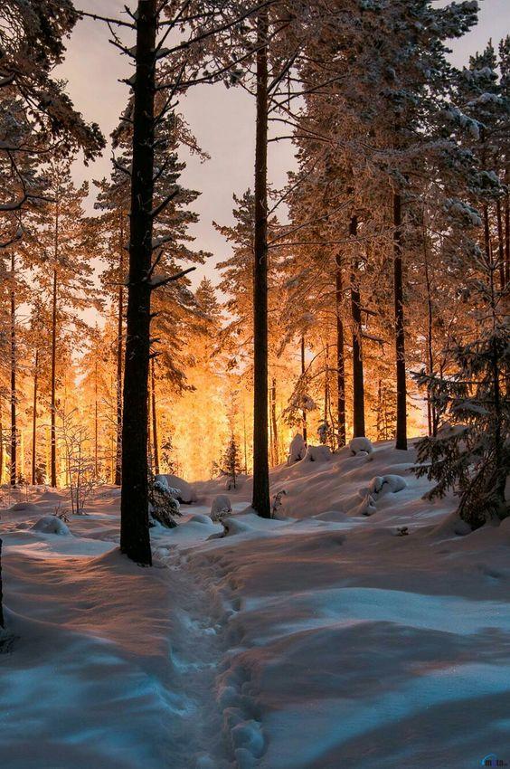 sunrise through snowy trees
