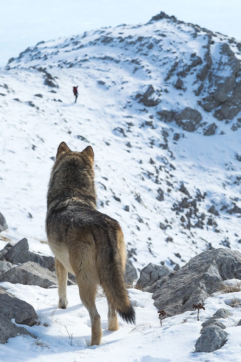 wolf staring at man in distance