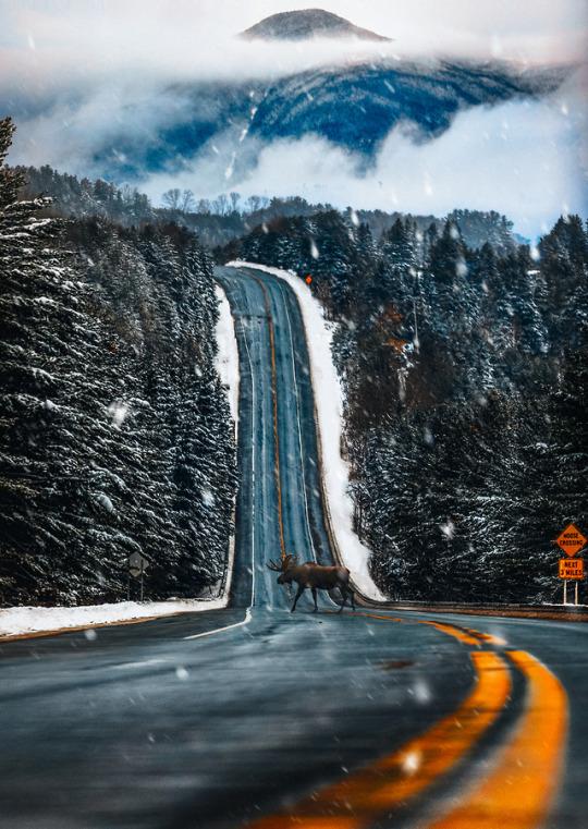 moose crossing mountain road