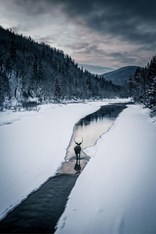deer walking in stream during winter