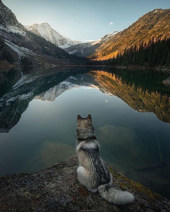 husky looking towards mountain lake
