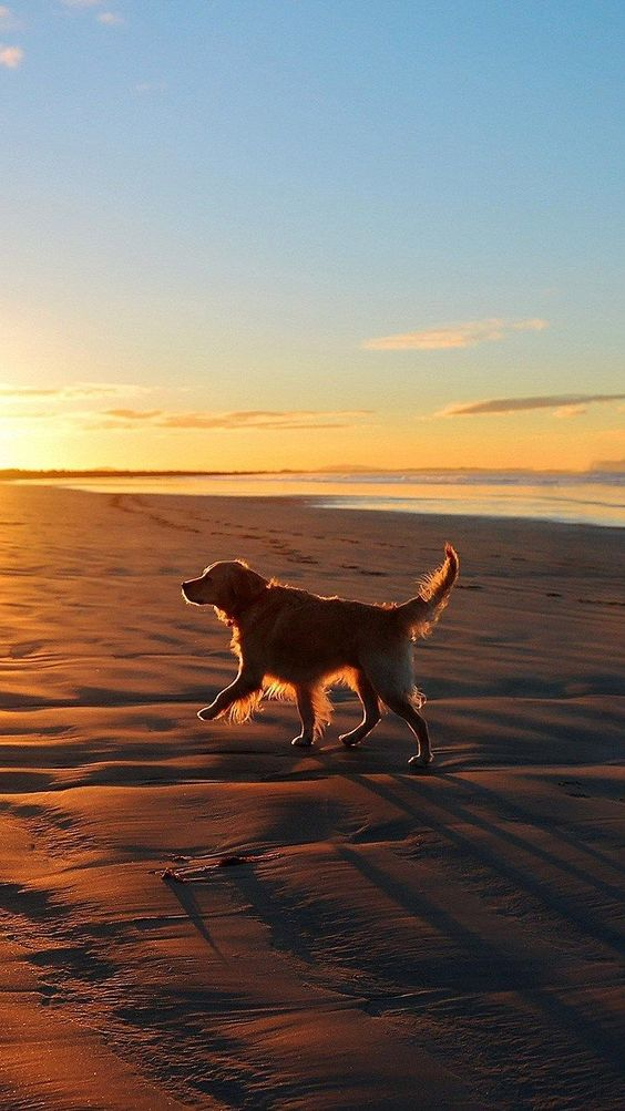dog running on beach sunset
