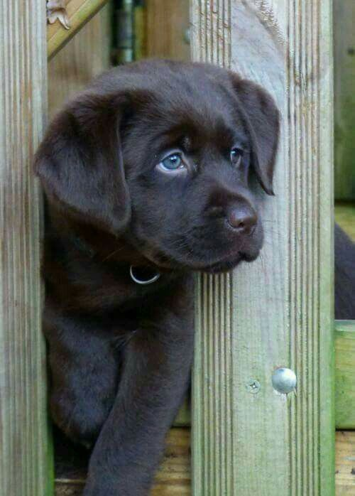 black lab puppers