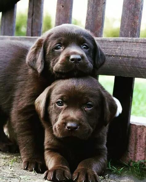 chocolate lab brother puppies