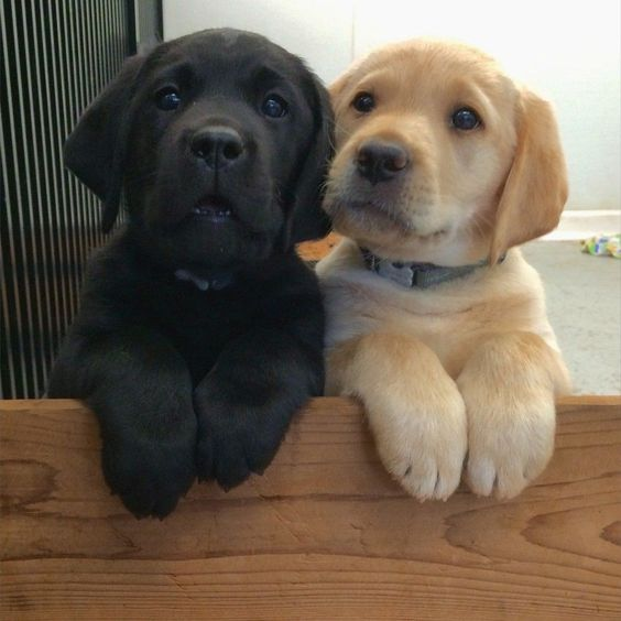 black and yellow labs hanging out together